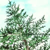 at one children's book balsam, pine trees